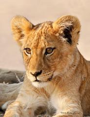 African lion cub  4222 (Bonnieg2010) Tags: africanlioncub lioncub cub wild nature animal predator safari ruahanationalpark tanzania africa bonniegrzesiak carnivore kigelia