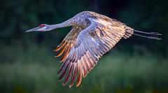 Sunshine On My Shoulder (Wes Iversen) Tags: brighton clichesaturday hcs kensingtonmetropark michigan milford sandhillcranes tamron150600mm birds birdsinflight waterbirds