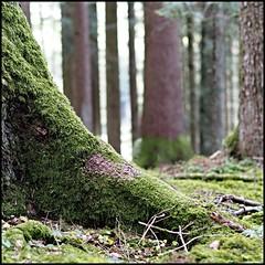 - Schwarzwald - (HORB-52) Tags: berndsontheimer badenwrttemberg blackforest schwarzwald fortnoire baum bume tanne fichte wald wlder forest fort arbre tree