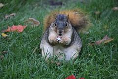 Squirrels in Ann Arbor at the University of Michigan (October 17, 2016) (cseeman) Tags: squirrels annarbor michigan animal campus universityofmichigan umsquirrels10172016 fall eating peanut octoberumsquirrel gobluesquirrels umsquirrel foxsquirrels easternfoxsquirrels michiganfoxsquirrels universityofmichiganfoxsquirrels