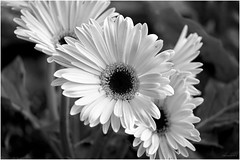 black-and-white-real-flowers-3 (adeelagahmedkhan) Tags: recent