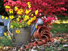 Couleurs d'automne (Hlne Quintaine) Tags: automne jardin couleur fleur arosoir feuille nature extrieur composition cration octobre arbuste pot terre