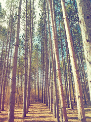 Tall Woods (PeZ_III) Tags: pine pinetrees hike inthewoods woods mighty true picturesque nature natural naturephotography natgeo michigan puremichigan bostedor dbozphotography davidbostedor davidbostedoriii davidlbostedoriii dboz davidlbostedor wwwdbozphotographycom