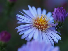 Aster (michaelmueller410) Tags: blume flower flowers lila pink purple dof schrfentiefe dark macro makro closeup