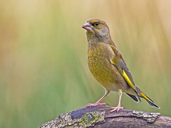 Greenfinch (coopsphotomad) Tags: greenfinch nature wildlife green canon bokeh perch branch avian garden