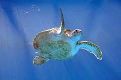 Seeaquarium - Grne Meeresschildkrte (astroaxel) Tags: curacao seeaquarium aquarium grne meeresschildkrte wasserschildkrte schildkrte
