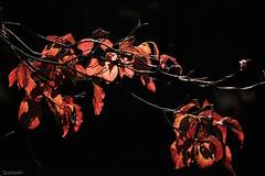 -- (atacamaki) Tags: xt1 50140 xf f28 rlmoiswr fujifilm jpeg atacamaki       leaf season autumn light