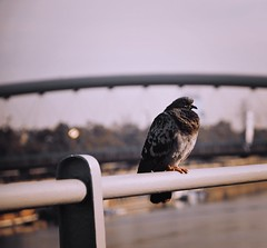 Pigeon (joanna_l95) Tags: pigeon cracow krakow
