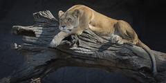 laaangweilig...... (Matthes S.) Tags: lwe lion tiere animals natur sugetier raubtier raubkatze