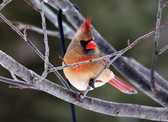 "Lady Cardinal • <a style=""font-size:0.8em;"" href=""http://www.flickr.com/photos/29084014@N02/15611920763/"" target=""_blank"">View on Flickr</a>"