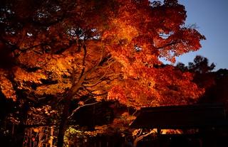 ✪白鳥庭園の紅葉ライトアップ -愛知県名古屋市-