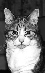 Lady Cat (Rob .S.) Tags: female cat canon mono blackwhite feline whiskers catswhiskers 550d