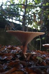 Enterprise (VelvetJones_) Tags: autumn nature mushroom leaves canon efs1855mm fungi toadstool 34mm 70d