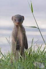 namibia_trip-403 (s4rgon) Tags: nature animals tiere natur namibia mongoose etoshanationalpark mangusten namutonicamp