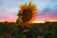 One More Before I Go (Jared Ropelato) Tags: california park sunset summer jared vacation nature landscape photography glow outdoor environmental photograph sunflower norcal agriculture enviro 2014 ropelato ropelatophotography