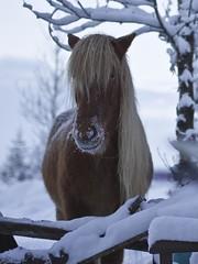 Hestur / Hors (ingolfssonvalur) Tags: horses animal pony icelandic hestar