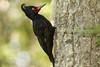 Female Magellanic Woodpecker at Tierra del Fuego NP IMG_9923 (grebberg) Tags: bird argentina female tierradelfuego nationalpark woodpecker january fugl 2015 campephilus tierradelfuegonationalpark campephilusmagellanicus magellanicwoodpecker