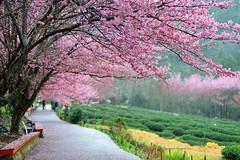 ~...~   Cherry blossom(Pink) (Shangfu Dai) Tags: nikon farm taiwan cherryblossom formosa  d800   wulingfarm   af80200f28d