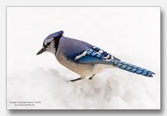 Blue Jay in the snow (Bruce-T-Smith) Tags: snow bird bluejay