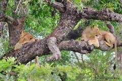 DSC_1927 (Arno Meintjes Wildlife) Tags: africa nature southafrica wildlife lion safari krugerpark pantheraleo arnomeintjes