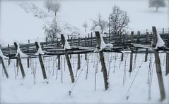 Next Years Wine (miramann) Tags: wine luzern newyear wein weinbau kriens rebberg