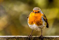 Robin Perched (rdgriff92) Tags: winter bird robin wildlife southampton common