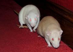 Elsa and Astrid Running (diedintragedy) Tags: pets animals rat dumbo astrid rodents elsa topaz petrat brownrat whiterat fancyrat albinorat dumborat siameserat fawnrat pinkeyedrat redeyeddilute rubyeyedrat