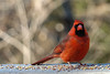 Friendly Cardinal (2) (Castilleja19) Tags: birds virginia cardinal williamsburg cardinaliscardinalis