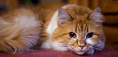 The Cat Hassock (Light Echoes) Tags: winter pet animal cat 50mm nikon katten kat feline gate chat january gato katze cath 猫 macska gatto חתול kot gat kočka kedi kass 貓 katt kissa mačka kucing 2014 mèo گربه кошка 고양이 d90 katė γάτα miv kalo pisica kaķis القط randell котка แมว qattus кішка बिल्ली بلی vighro
