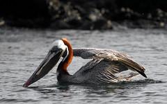 Galapagos-20140714-1808-BK2W6327-Edit (Swaranjeet) Tags: birds pelican pelicans galapagos ecuador bird largebirds july2014 canon fullframe 1dx eos1dx dslr sjs swaran swaranjeet swaranjeetsingh sjsvision sjsphotography swaranjeetphotography 2014 eos canoneos1dx 35mm ef pro 200400 canonef200400mm canonef200400mmf4lisusm14x santacruz singh photographer thane mumbai india indian