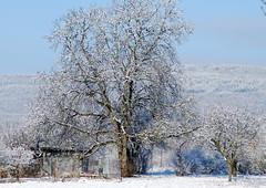 Merkt auf mit Gottes Volk (amras_de) Tags: winter tree vinter hiver tr boom arbor rbol invierno albero tre inverno talvi puu arbre zima rvore strom baum arbo fa trd tr vetu