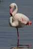 Greater Flamingo (Rainbirder) Tags: kenya greaterflamingo phoenicopterusroseus lakenakuru rainbirder