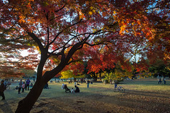 Evening Shadows In Autumn Park (aeschylus18917) Tags: park autumn trees people playing fall nature colors leaves japan landscape tokyo ginkgo maple scenery fallcolors relaxing autumncolors   20mm ginkgobiloba   foilage  nerima nerimaku hikarigaoka   hikarigaokapark  20mmf28    danielruyle aeschylus18917 danruyle druyle