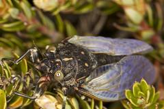 Half baked Diemeniana hirsuta (zosterops) Tags: macro cicada australia tasmania hobart pinnacle mountwellington insecta hemiptera kenkoextensiontubes cicadidae canoneos6d canonmacrolensef100mm diemenianahirsuta