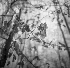 And Still They Hold (BunnySafari) Tags: winter bw film doubleexposure guelph january ilford fp4 yashicamat beeches pushprocessed 2015 starkeys bunnysafari developedfor10minutesintmax