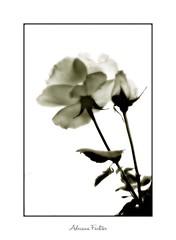 af0608_9882 (Adriana Füchter) Tags: σαουδικήαραβία саудовскаяаравия العربيةالسعودية المملكةالعربيةالسعودية サウジアラビア 沙烏地阿拉伯 沙特阿拉伯 사우디아라비아 adrianafüchter botanical garden flores 꽃 flowers 花 цветки fiori λουλούδια blumen fleurs bloemen blommor زهرات цветок fleur natureza طبيعة aard 性質 성격 φύση natura природа naturaleza valentines day dia dos namorados ܘܪܕܐ گل سرخ ורד rosales 蔷薇属 rosae バラ macrofotografia photography makrofotografie 微距攝影 macrophotographie photographie 接写 lähikuvaus makrokuvaus макросъёмка photo rosas rose botanica flor blüte flower fiore flora botânica botany botanique 植物学 botanik fragrancias