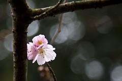 Scénographie (Gerard Hermand) Tags: 1502252252 blossom branche branch gerardhermand france paris eos5dmarkii arbre fleur pink rose tree canon