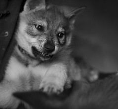 (Timoleon Vieta II) Tags: portrait bw love wolf little teeth timoleon
