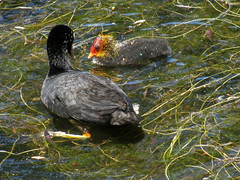 Mum, will I ever be as beautiful as you are? (aniko e) Tags: birds coot eurasiancoot chick lake fulicaatra bässhuhn szárcsa spring diversity zamilapark