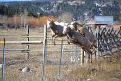 Marla Eccleston - Rocky Mountain sheep