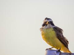 "Bird in the sun - Bentivi ""Pitangus sulphuratus"" (FcPriosta) Tags: brazil sun bird nature birdie fly natureza passarinho pássaro dodo pitangus sulphuratus bentivi"