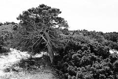 A6K00959-LR-1920 (the.digitaleye) Tags: bw white black tree de spain cami baum menorca spanien cavalls