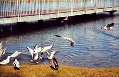 fighting for food (lkohutova) Tags: seagulls lake water birds duck nikon d3200