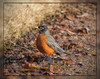 Robin (I) (gtncats) Tags: bird nature robin outside ef70300mm canon70d photographyforrecreation infinitexposure