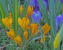 Yellow and blue crocus (joybidge) Tags: crocus victoriabc crocuses naturepatternscanada trishcanada tsfeb152015