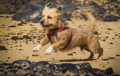 lust for life 2 (maikepiel) Tags: dog beach smile strand happy jumping sand rocks running hund lcheln felsen rennend frhlich hpfend