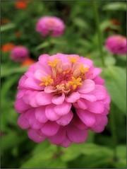 (Tlgyesi Kata) Tags: macro pinkflower blossom summer botanikuskert botanicalgarden withcanonpowershota620 fvszkert legnyrzsa rzvirg zinnia nyr