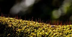 Moss (Jeff Derbys) Tags: macro moss bokeh lichen canon70300 shipleycountrypark canoneos500d