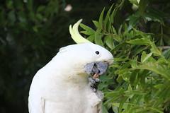 cooks-river-120716-013 (alison.klein) Tags: cockatoo australianbirds cooksriver