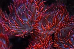 underthesea2 (queenbeaphoto@att.net) Tags: coral sealife aquatic seaanemone bymelissafrybeasley